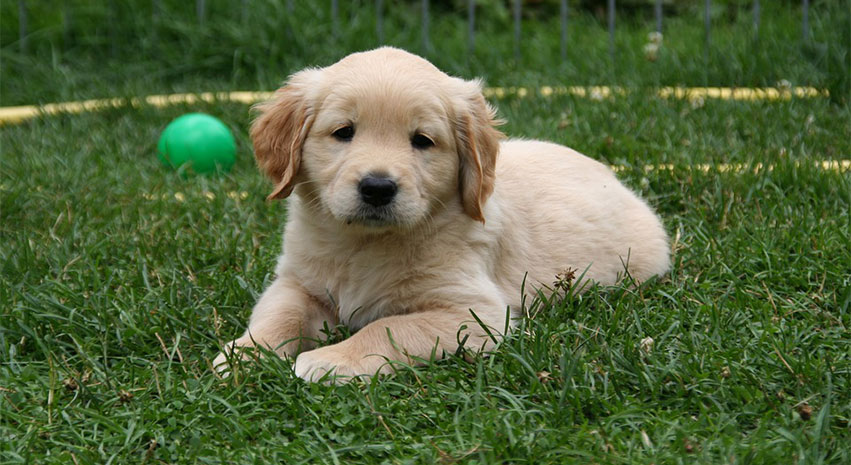 Golden Retriever - Top 3 Service Dog Breeds and Why