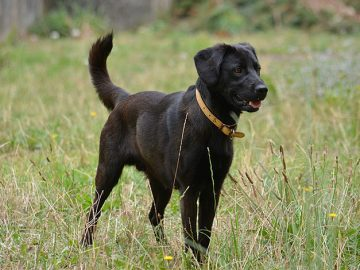 labrador 360x270 - Top 3 Service Dog Breeds and Why